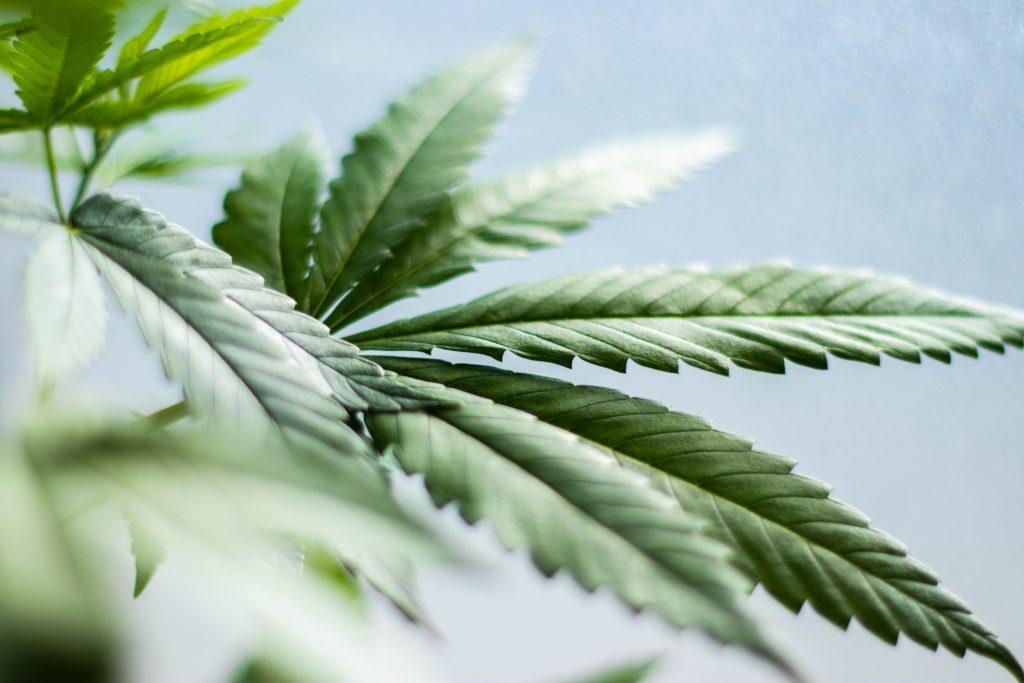 marijuana plant cultivation